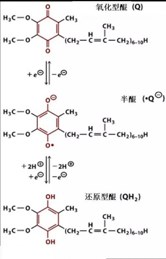 醌(Principles of Biochemistry, 第4版,Pearson Prentice Inc。, 2016)