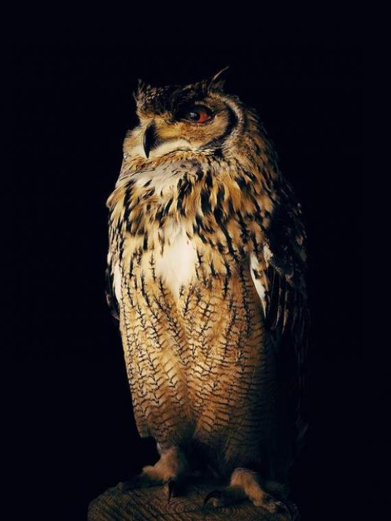 ▲ 動物類二等獎 Owl,Yoichi Sato,iPhone X